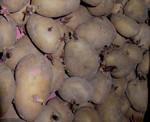 pomme-de-terre-noirmoutier-1