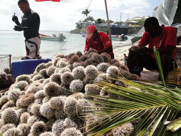 EXCEPTIONNEL: Les Oursins de Martinique au rendez-vous des Fêtes