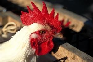 poulet de Bresse ©  Alain Doire Bourgogne Tourisme