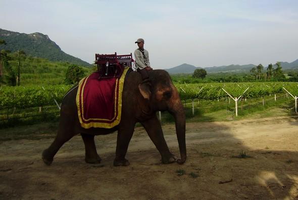 Des vignes à dos d'éléphant!