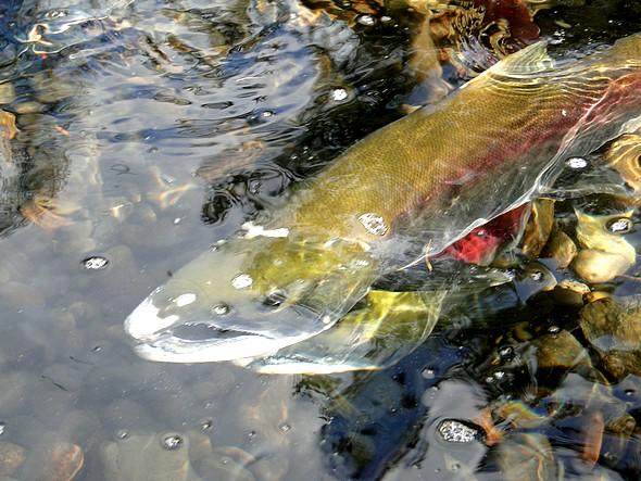 le saumon vient de donner la vie/ Thierry Bourgeon/laradiodugout.fr
