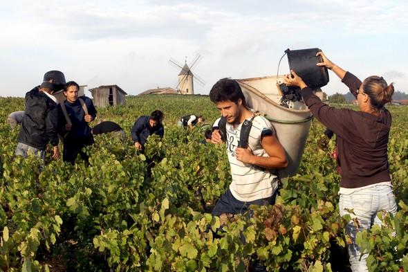 Beaujolais 2013 : Des vendanges tardives mais de qualité