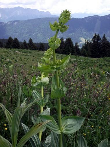 Alpage de la Combe des Villards, un plan de Gentiane. En arrière plan, on pourrait presque apercevoir le Mont-Blanc. ©G.Conreur