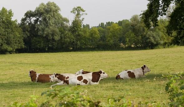 vaches laitières et heureuses ©SCBB