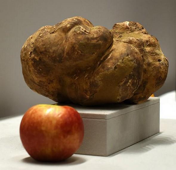 La plus grosse truffe blanche au monde est partie pour Taïwan…