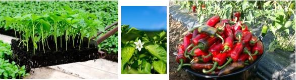 semis, fleur, récolte © DR