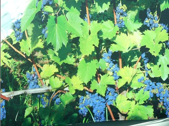 la vigne à foison/Y.C