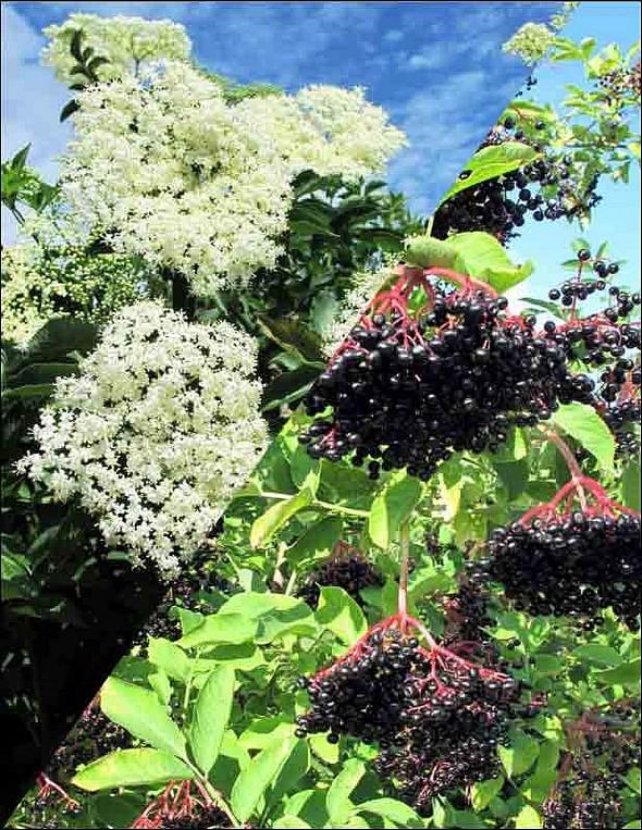 les 2 états du sureau, fleurs et baies ©B.Bouflet
