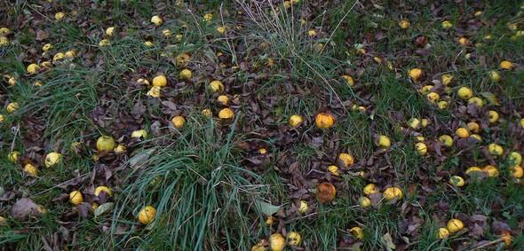 Des pommes comme s'il en pleuvait ©GC/laradiodugout.fr