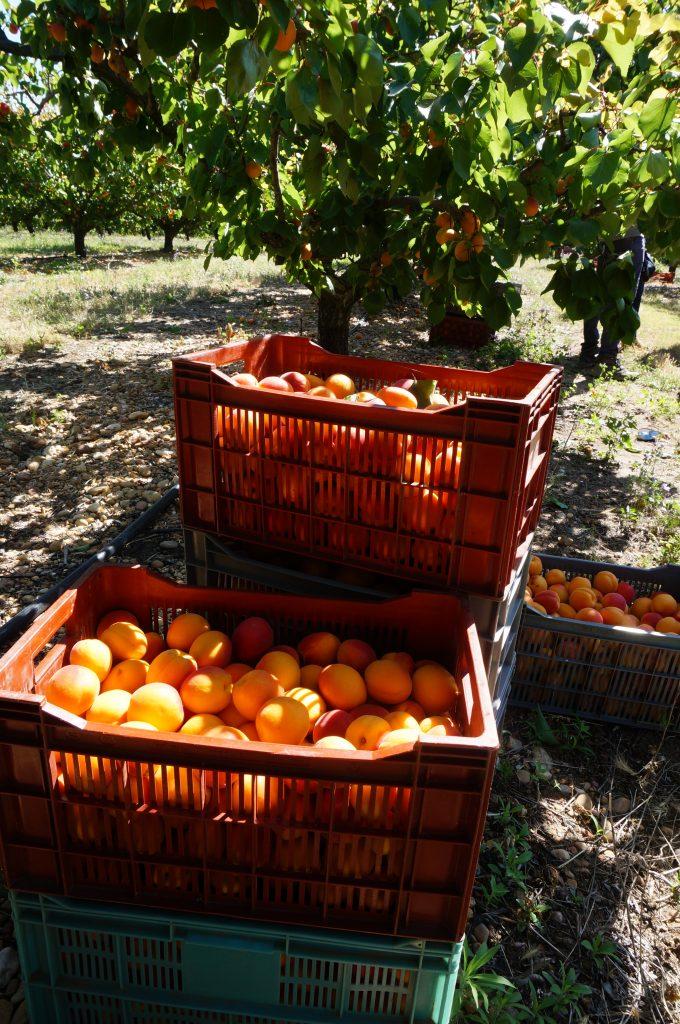 cagettes d'abricots