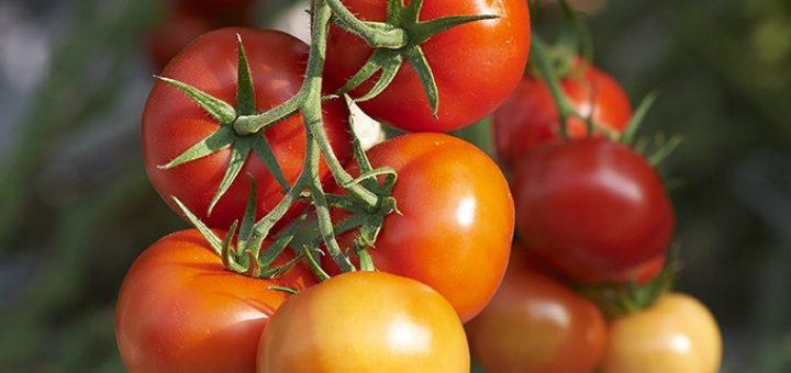 tomates jaunes et rouges gros plan home