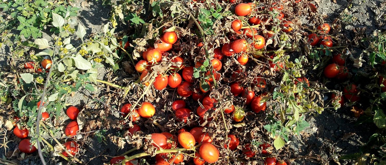 juste-avant-la-recolte-chez-les-soeurs-ponzi-les-tomates-de-plein-champ