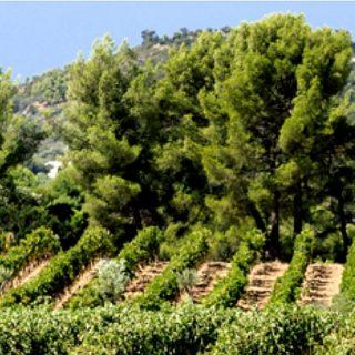 le vignoble de Figuière ©DR