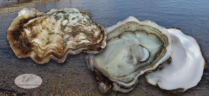huîtres de Tarboudech