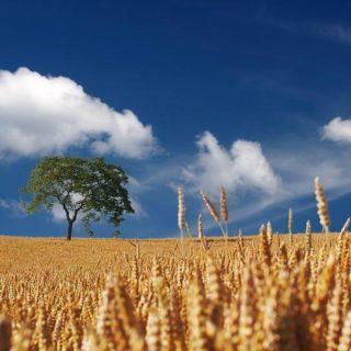 recolte céréales