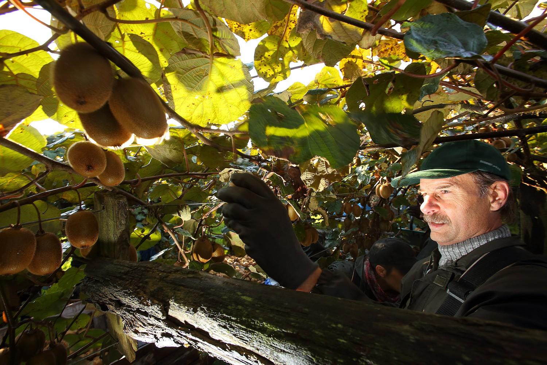 Kiwi homme qui recolte