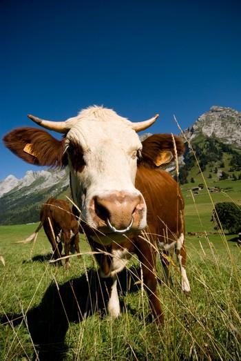 vache AOP Reblochon