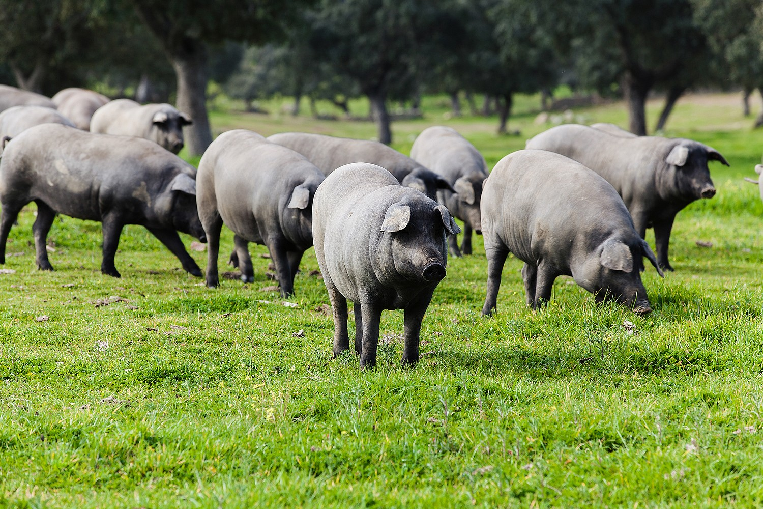 Group of Spanish Iberian pigs in the countryside.
