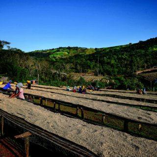 Une fois lavés, les cafés sont séchés au soleil et triés pour éliminer les défauts. Dulli Ethiopie.